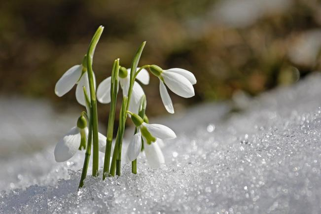Zelk Zoltán: Hóvirág