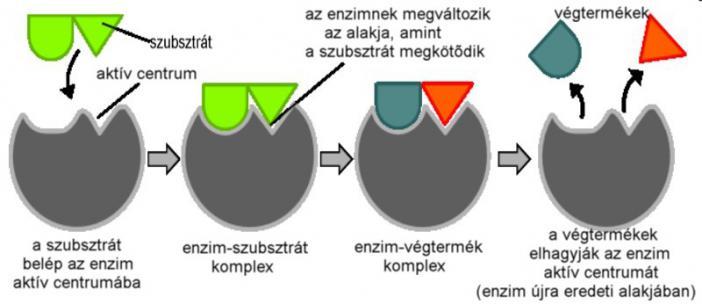 Testtípusok és enzimhiány